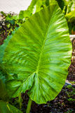 Tropical Elephant Ear Leaf with in Thailand Royalty Free Stock Image