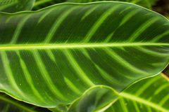 Tropical Elephant Ear Leaf  in Ubud, Bali Royalty Free Stock Images