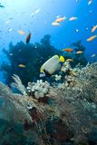 Tropical Emperor angelfish. Royalty Free Stock Photography
