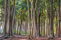 Tropical Evergreen Forest with tall trees, on sunny day of Autumn Season. Fallen leaves are decomposing, has covered all ground. stock image