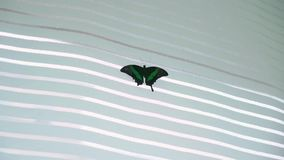 Tropical exotic butterfly indoors at the party