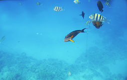 Tropical exotic fish acanthurus underwater in the water Red Sea Stock Image