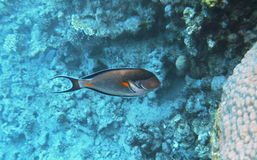 Tropical exotic fish acanthurus underwater in the water Red Sea Stock Photos