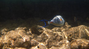Tropical exotic fish acanthurus underwater in the water Red Sea Stock Photo