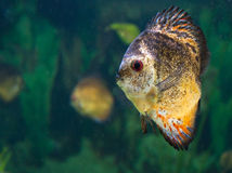 Tropical exotic fish Stock Photo