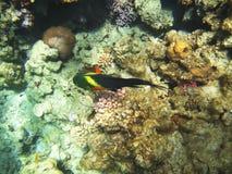 Tropical exotic fish in the Red sea. Cheilinus lunulatus Stock Images