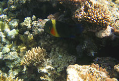 Tropical exotic fish in the Red sea. Cheilinus lunulatus Stock Photos
