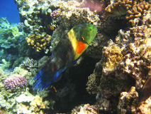 Tropical exotic fish in the Red sea. Cheilinus lunulatus Stock Photography