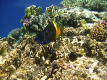 Tropical exotic fish in the Red sea. Cheilinus lunulatus Royalty Free Stock Photo