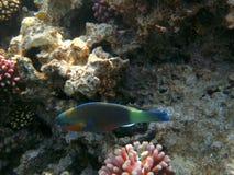 Tropical exotic fish underwater. The pseododax moluccanus Stock Images