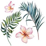 Tropical exotic floral set. Beautiful pink plumeria flowers and green palm leaves isolated on white background. Watercolor painting. Hand drawn and painted royalty free illustration