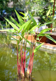 Tropical exotic heliconia plant. Stock Image