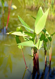 Tropical exotic heliconia plant. Stock Photography