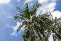 Tropical exotic perfect palm trees sky. Tropical exotic perfect palm trees in front of sky Stock Image