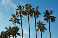 Tropical exotic tall plam trees and blue sky Stock Photography