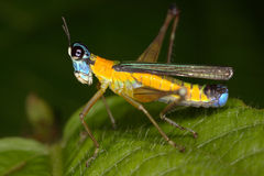Tropical false locust very beautiful bright colors. Royalty Free Stock Photography