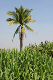 Tropical Farming Royalty Free Stock Image