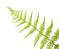 Tropical Fern. A fresh springtime fern still curled and steadily growing to begin its summer long journey of growth showing mother natures miracle royalty free stock images