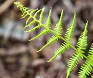 Tropical Fern. A fresh springtime fern still curled and steadily growing to begin its summer long journey of growth showing mother natures miracle stock photo
