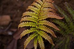 Tropical Fern in the Jungle. This is a close up of a tropical fern found in a Jungle in Hawaii Stock Photography