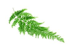 Tropical fern leaf Royalty Free Stock Photography