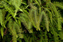 Tropical fern leaves. Background of tropical fern leaves in jungle Stock Photos