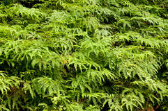 Tropical ferns Royalty Free Stock Image