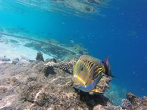 Tropical fisch. Tropical colorfull fisch in the water royalty free stock photography