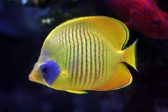 Tropical  fish №24 Stock Images