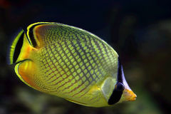 Tropical fish �9 Royalty Free Stock Photos