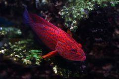 Tropical fish №12. The beautiful tropical  fish floats in the sea Royalty Free Stock Photos