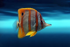 Tropical fish №14. The beautiful tropical  fish floats in the sea Stock Image