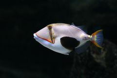 Tropical fish №16. The beautiful tropical  fish floats in the sea Royalty Free Stock Photo
