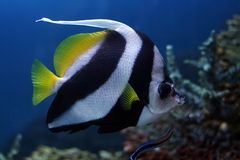 Tropical fish №18. The beautiful tropical  fish floats in the sea Stock Image