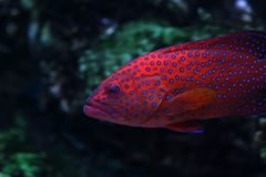 Tropical fish №19. The beautiful tropical  fish floats in the sea Royalty Free Stock Photography