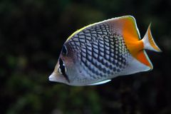 Tropical fish №20. The beautiful tropical  fish floats in the sea Royalty Free Stock Photography