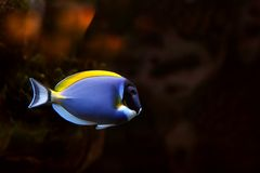 Tropical fish №25. The beautiful tropical  fish floats in the sea Stock Photo