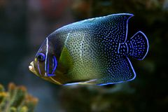 Tropical fish №30. The beautiful tropical  fish floats in the sea Stock Images