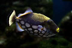 Tropical fish №31 Stock Images