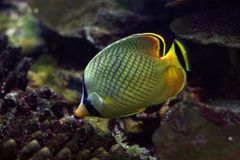 Tropical fish №34. The beautiful tropical  fish floats in the sea Stock Photo