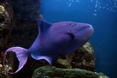 Tropical fish №35. The beautiful tropical  fish floats in the sea Royalty Free Stock Photo