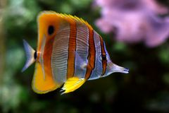 Tropical fish №37. The beautiful tropical  fish floats in the sea Stock Photo