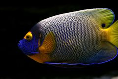Tropical  fish №45. The beautiful tropical  fish floats in the sea Royalty Free Stock Image
