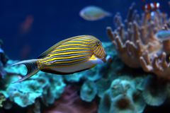 Tropical  fish №47. The beautiful tropical  fish floats in the sea Royalty Free Stock Photo
