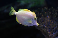 Tropical fish №5. The beautiful tropical small fish floats in the sea Royalty Free Stock Photo