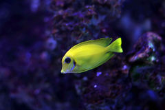 Tropical fish №8. The beautiful tropical small fish floats in the sea Stock Photo
