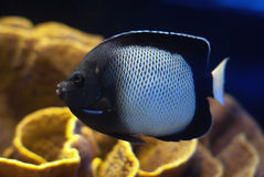 The tropical fish. The tropical small reef fish Stock Photography