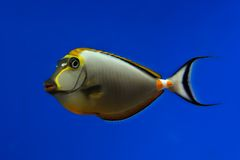 Tropical fish. Isolated on blue Royalty Free Stock Image