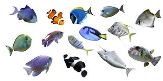 Tropical fish. Colection  Tropical sea fish - isolated Royalty Free Stock Photography