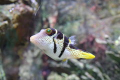 Tropical Fish. From the Oceans. Canthigaster solandri Royalty Free Stock Photo